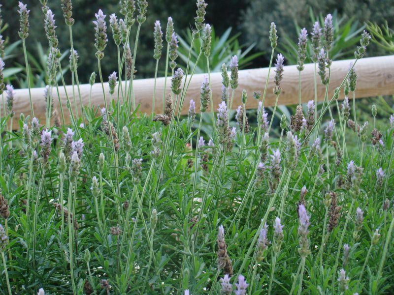 Mountain lavender for better sleep