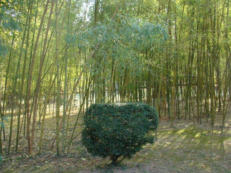 Bamboo trees at Tsinandali
