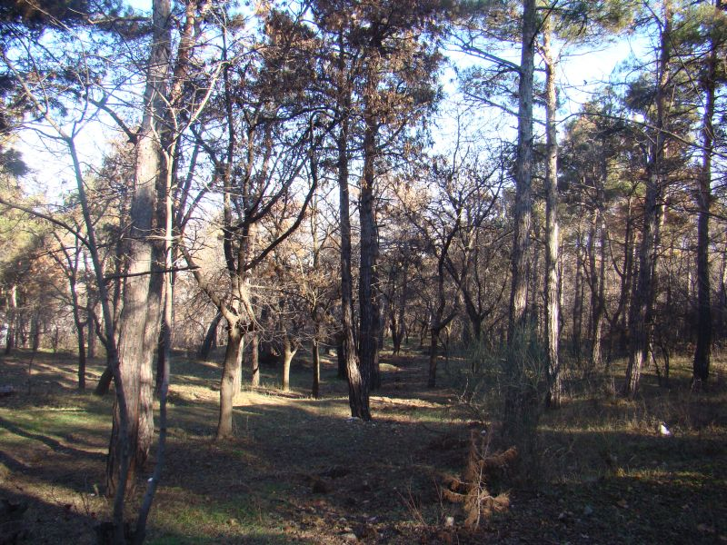 Pine forest and plenty of oxygen