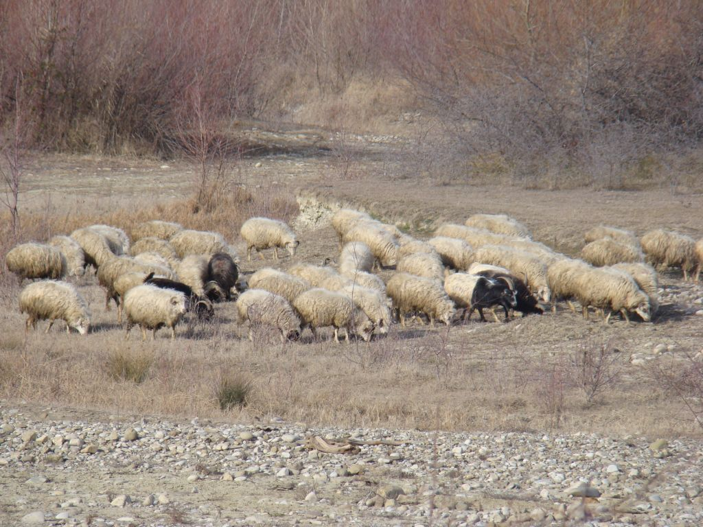 Sheep's looking for food on a valley