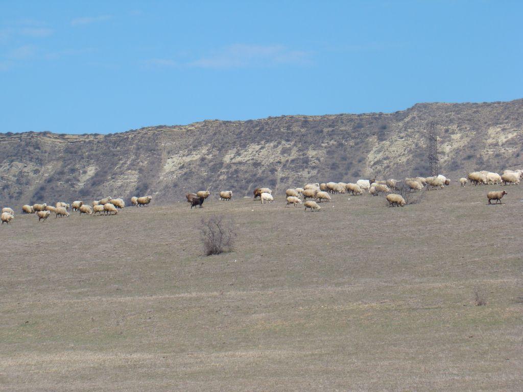 Sheep's near Lisi Lake