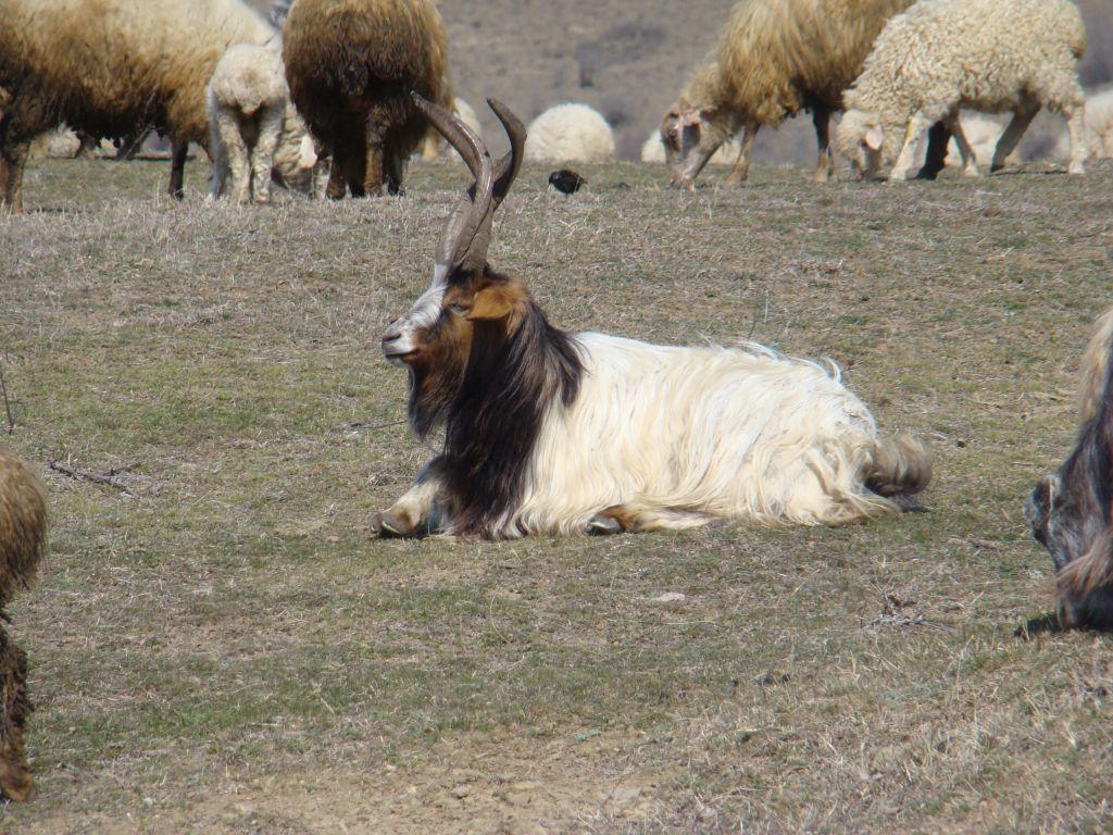 Georgian mountain goat with horns