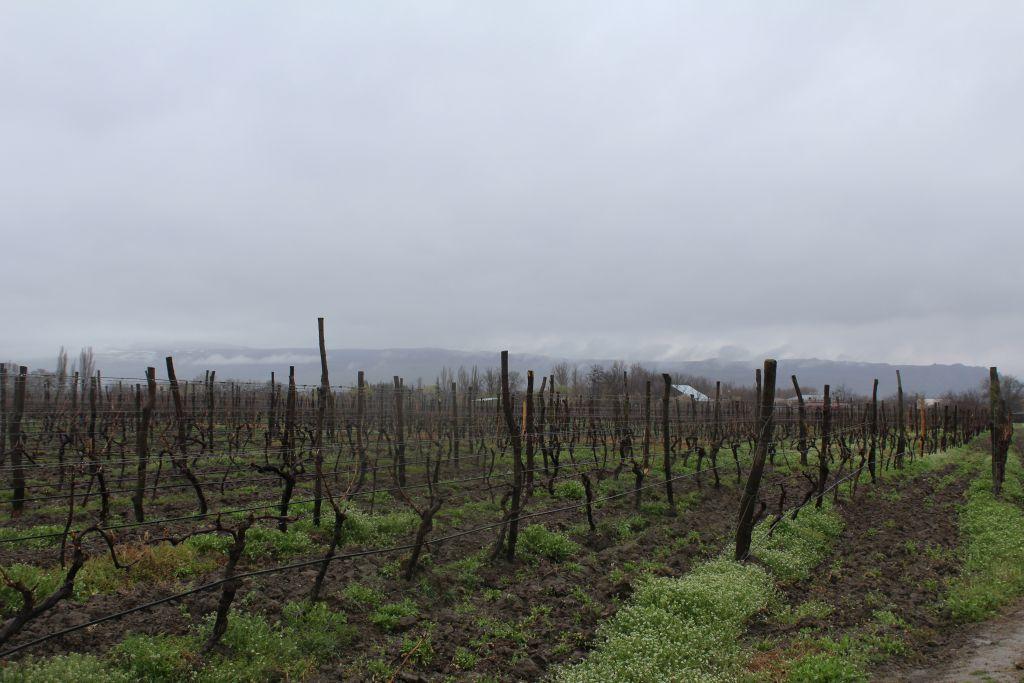 Vineyards at Château Mukhrani