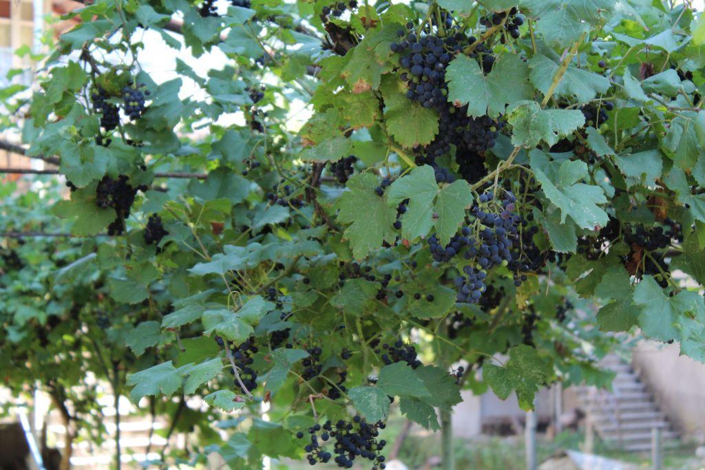 Vineyards in Qveda Sadgeri village