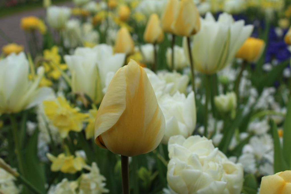 Macro of a tulip