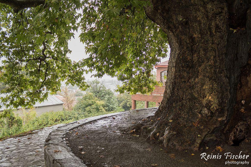 The Giant tree in Telavi