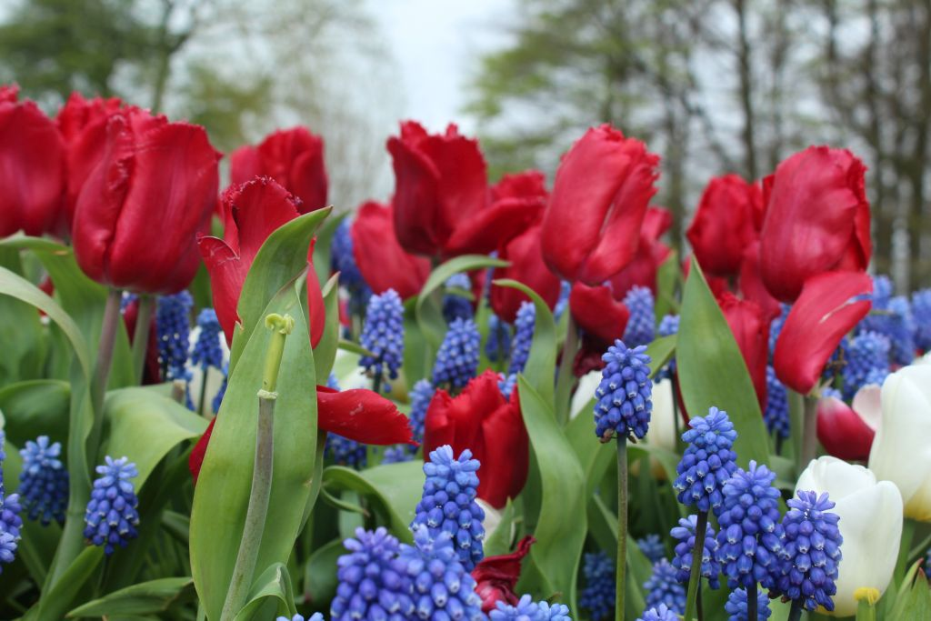Tulips and those... blue ones