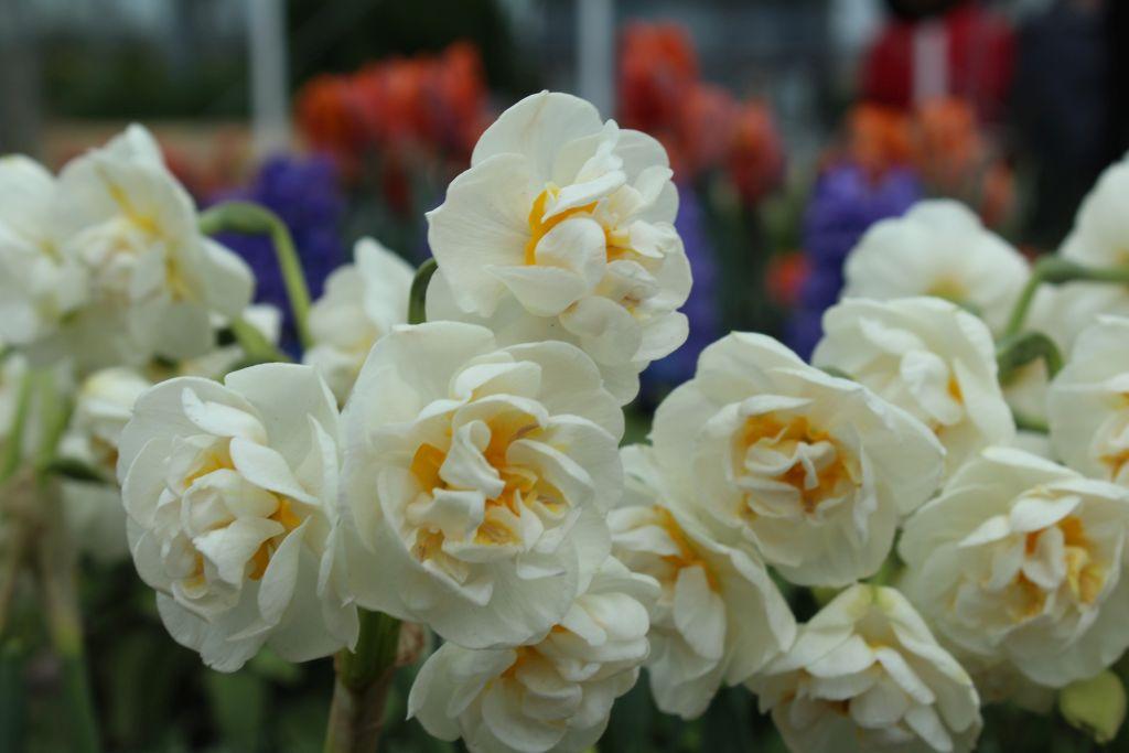 At Keukenhof's flower garden