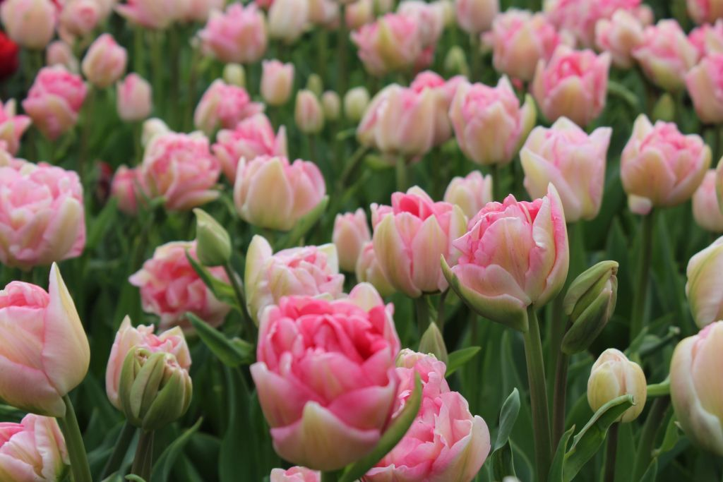 Pink blooming tulips