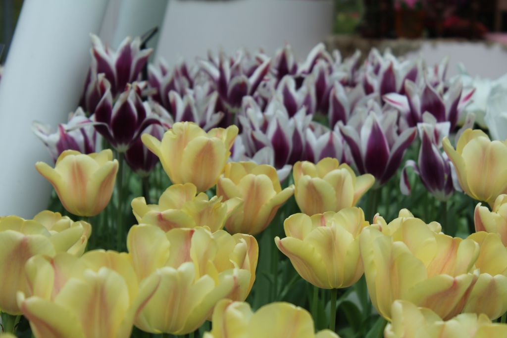 Tulips at indoor hall at Keukenhof