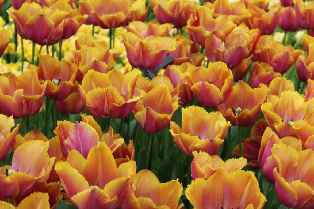 Gold Dust tulips