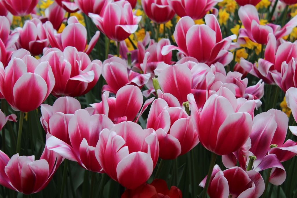 Pink tulips with white edges