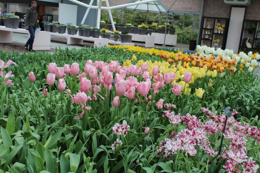 Tulips at expo hall