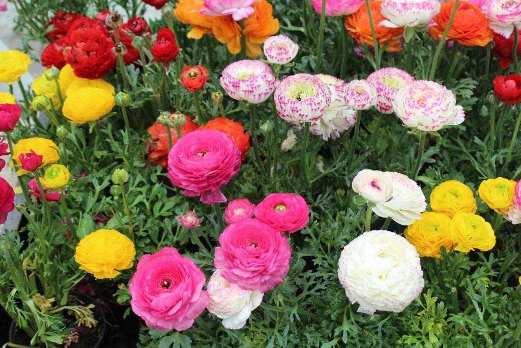 Looks like a tea roses for me