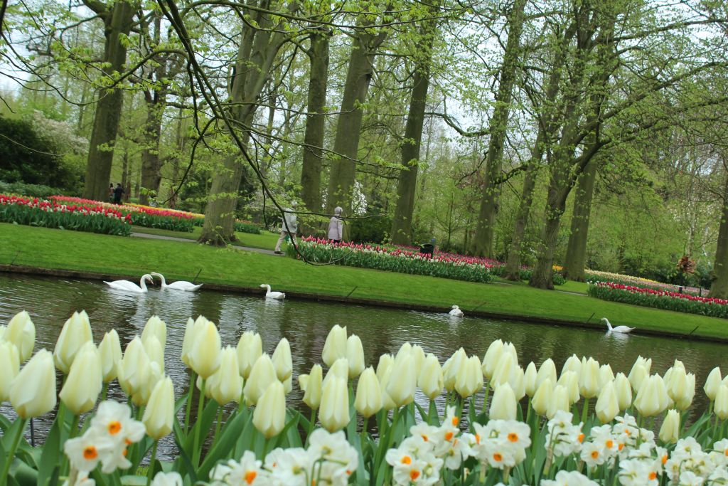 Tulips and swans