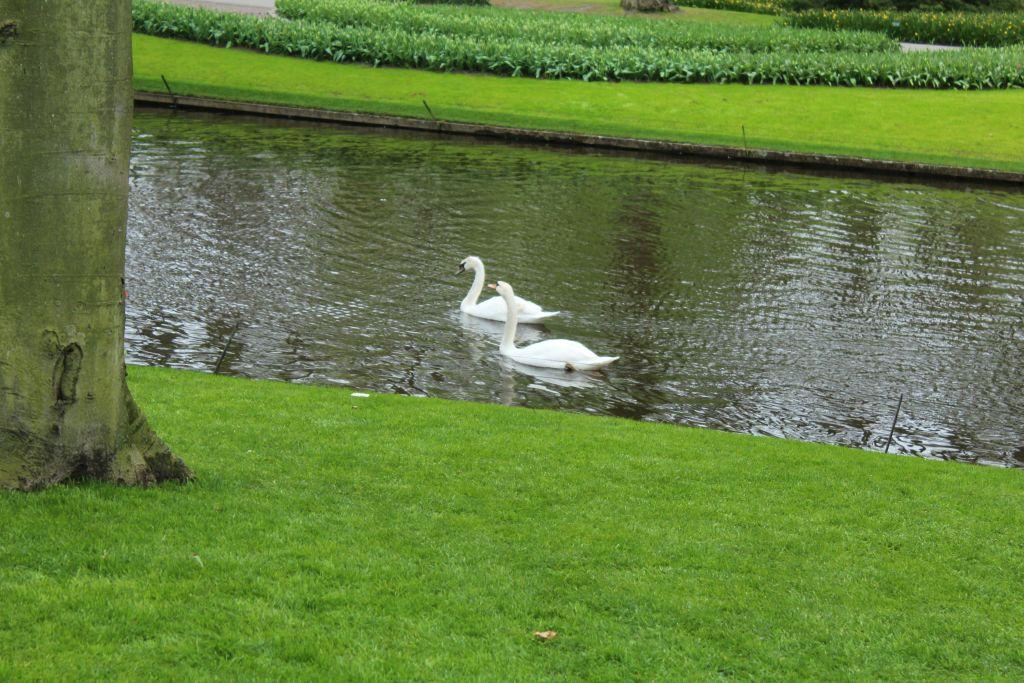 Swans at Keukenhof