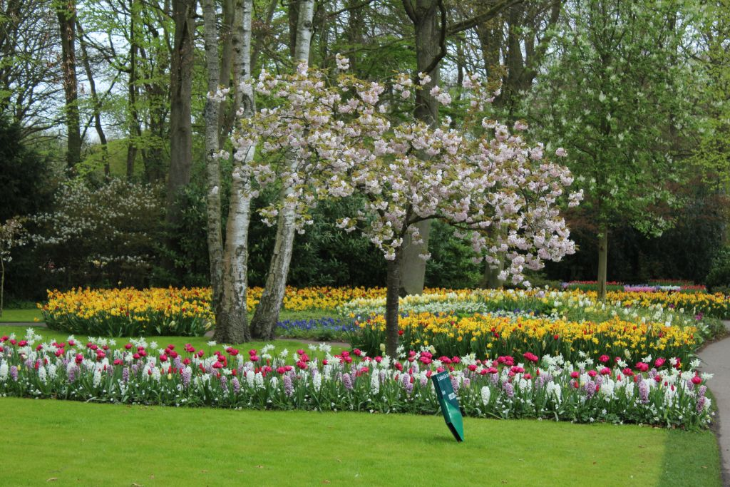 Tulips and a blooming tree