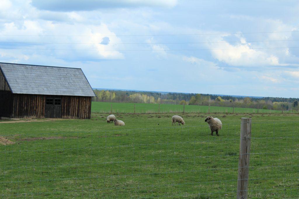 Sheep at Dairy Manor Berghof
