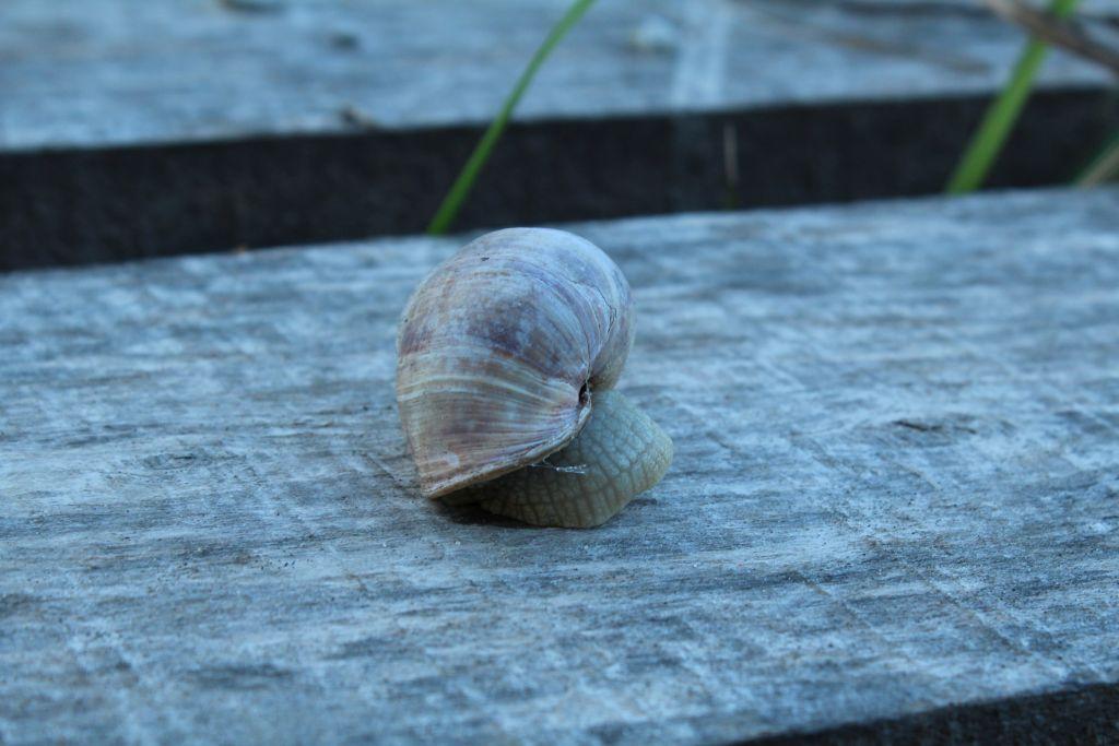 Snails near Rudzisi stone
