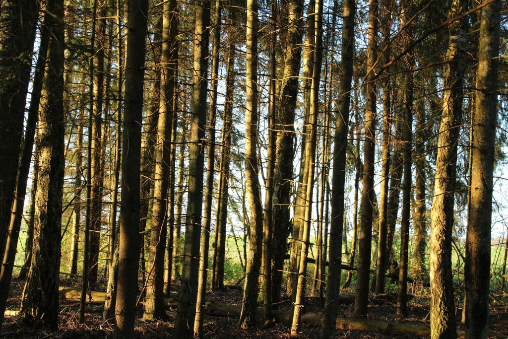 A forest near Rudzisi stone