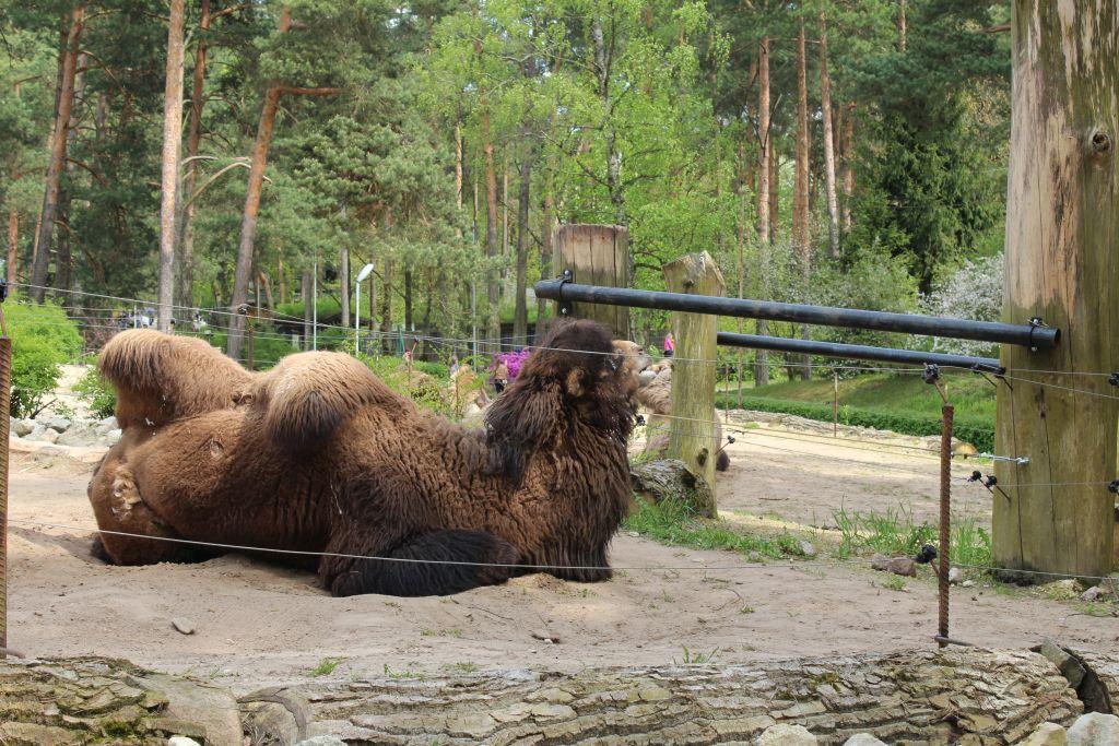 A camel at Riga zoo