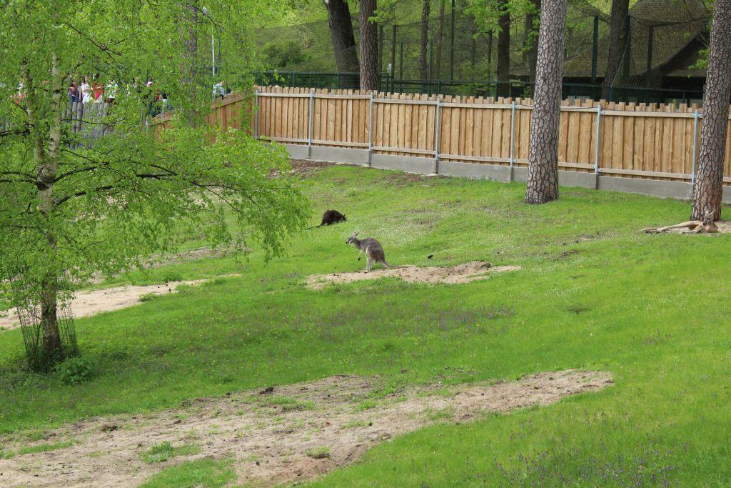 Kangaroos at Riga Zoo