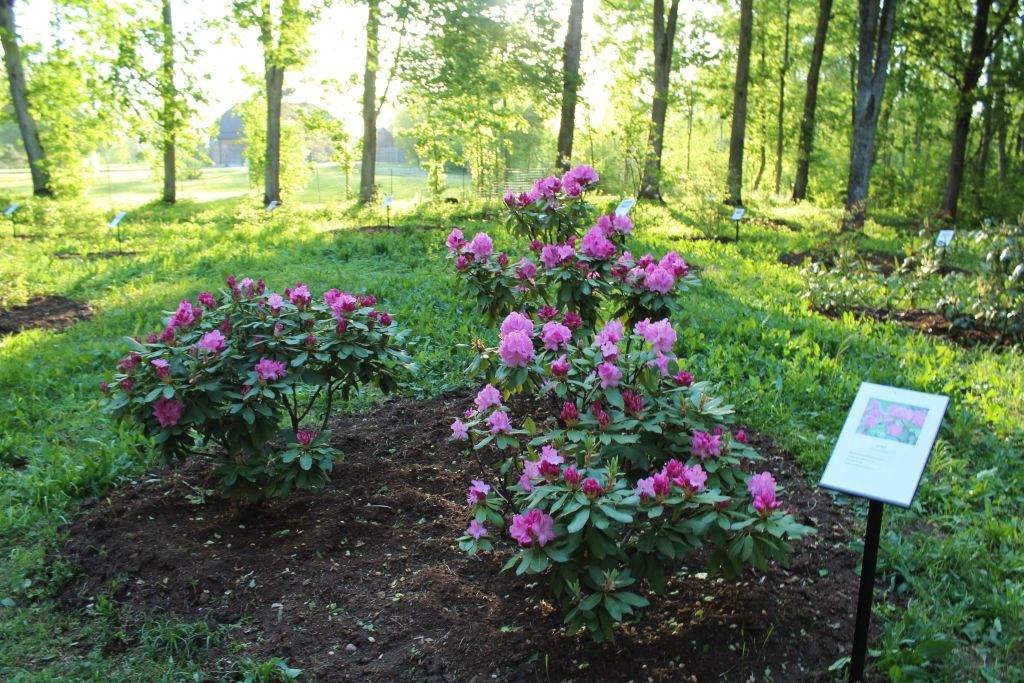 Blooming rhododendron in Cirava