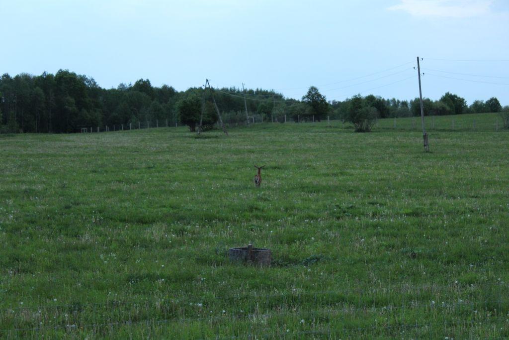 A runaway deer