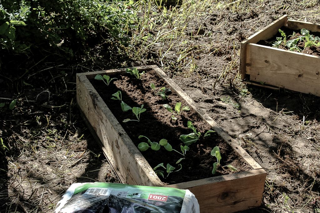 Seedlings planted into box