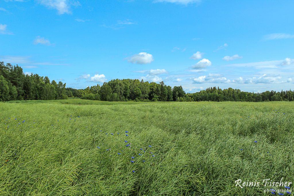Cornflower field in Latvia