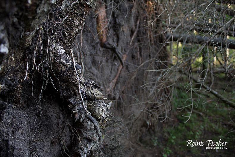 Dumped tree stump
