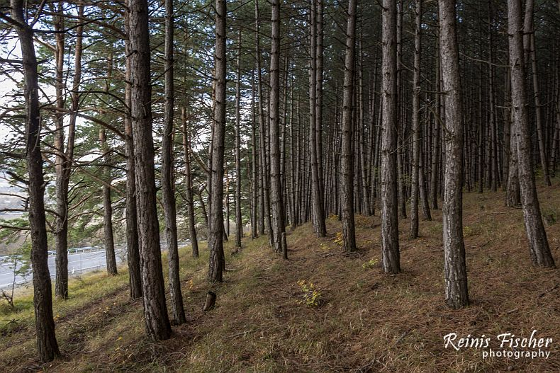 Pine forest in Tianeti